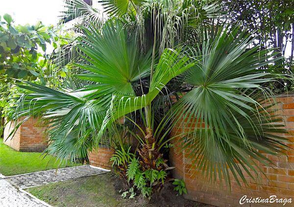 Palmeira leque da china na entrada de casa