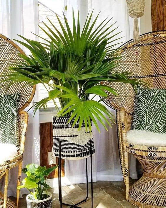 Palmeira leque da china na varanda