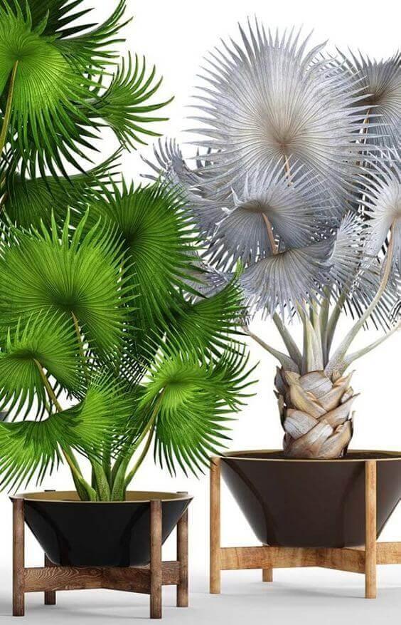 Palmeira leque em vaso moderno