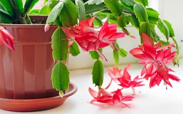 planta flor de maio cactos e vaso