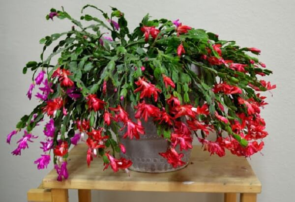 planta flor de maio roxa e vermelha
