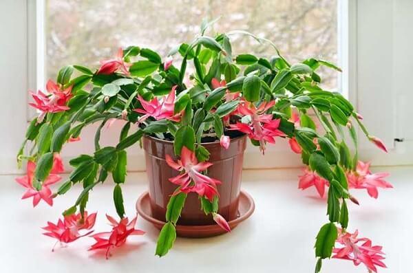 planta flor de maio salmão