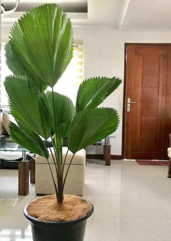 Sala decorada com palmeira leque