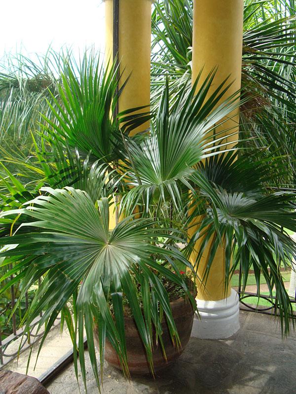 Varanda com vaso de palmeira leque da china