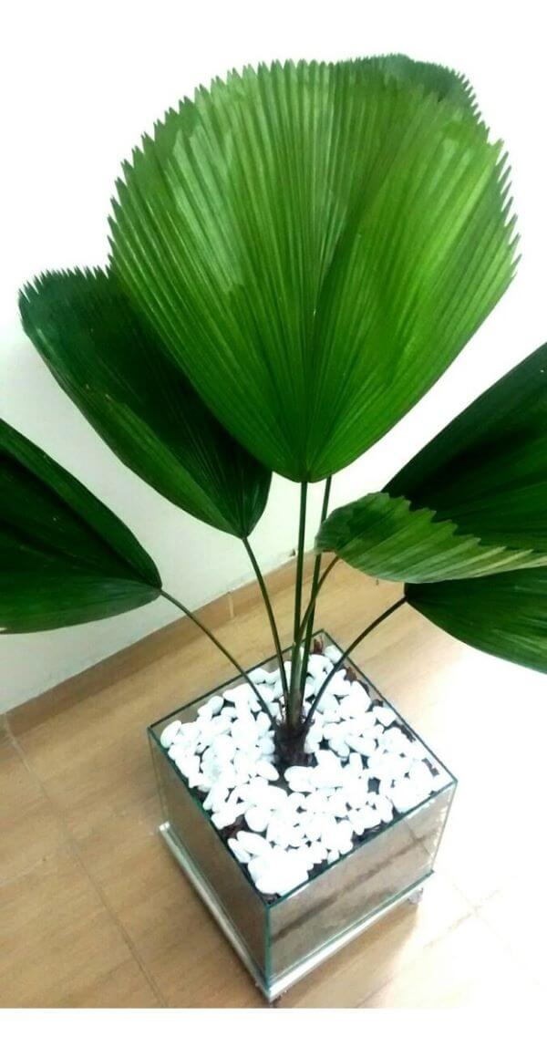 Vaso com palmeira leque na decoração