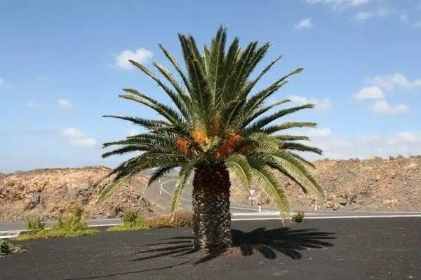 A Palmeira-das-canárias é muito usada no projeto paisagística de parques e praças