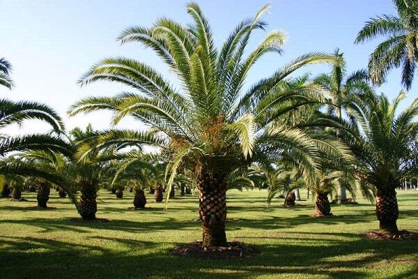 A Palmeira-das-canárias é um tipo de coqueiro de jardim