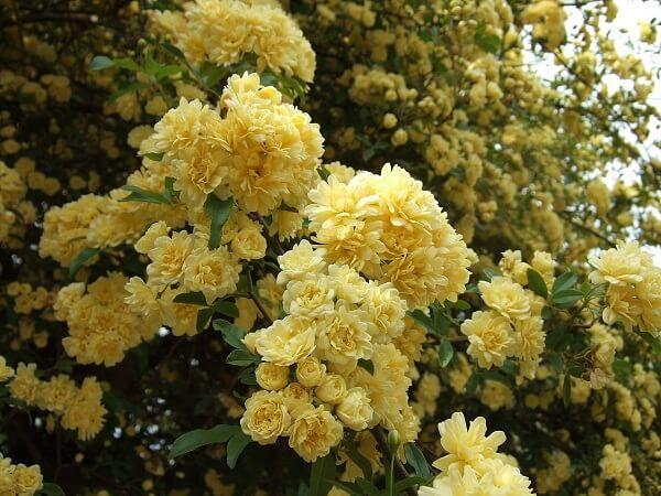 A Rosa Banksiae apresenta uma floração volumosa que chama a atenção