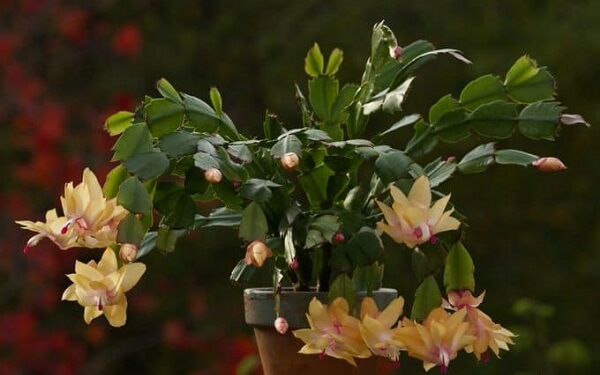 A flor de maio amarela é delicada e decora graciosamente ambientes internos