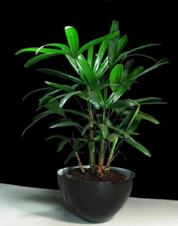 A muda de coqueiro de jardim da espécie ráfia pode ser cultivada até mesmo em um vaso em formato de tigela