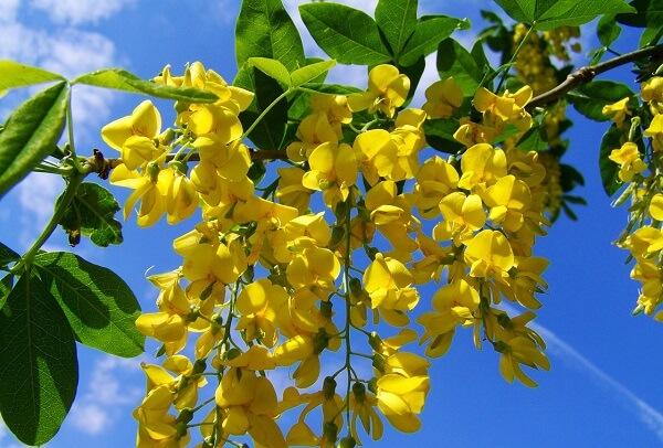 Árvore com flores amarelas de Acácia em pleno sol