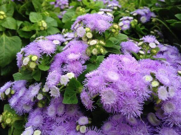 Agerato são flores de jardim que gostam de sol