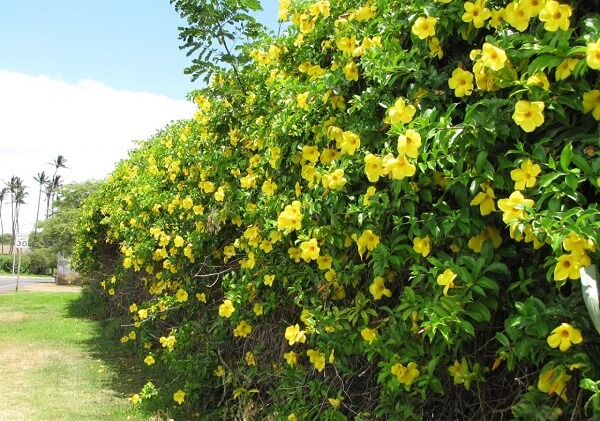 A Alamanda são flores de jardim que gostam de sol