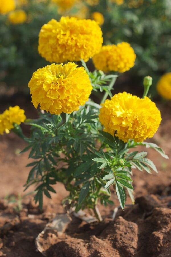 A flor amarela traz luz para o canteiro