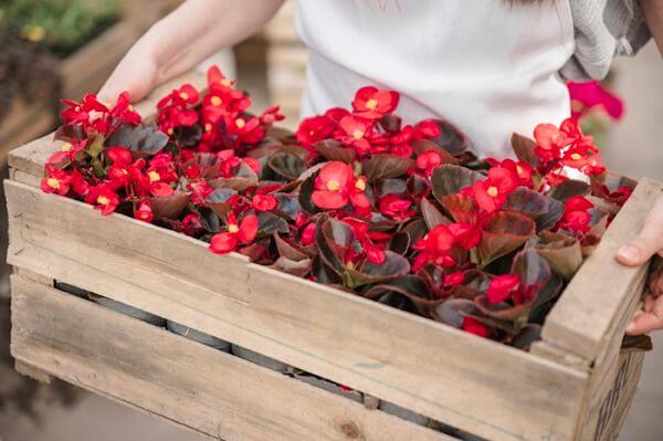 As begônias são flores de vaso que gostam de sol