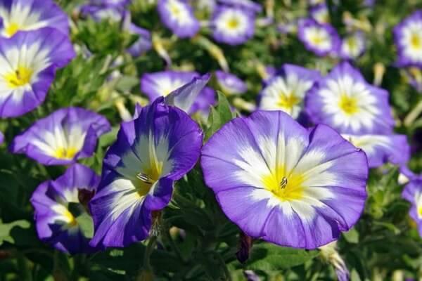 A Bela Manhã são flores que gostam de muito sol