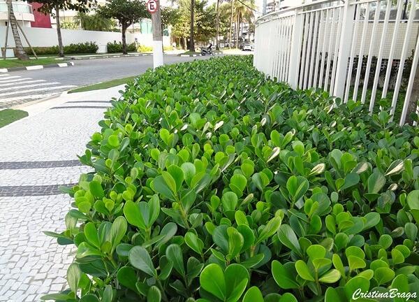 A Clúsia pode ser cultivada dentro e fora de casa