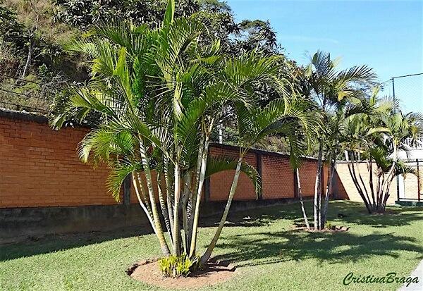 Coqueiro de jardim da espécie areca-bambu complementa a vegetação desse quintal