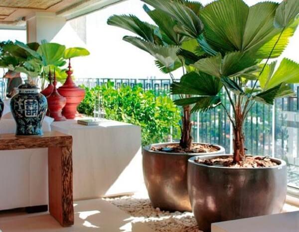 Coqueiro de jardim da espécie leque decora a varanda
