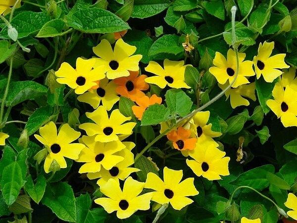 Cultiva a flor Amarelinha em casa
