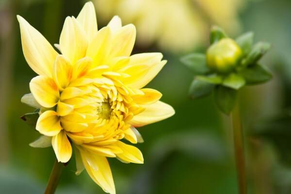 Dália amarela cultivada no jardim