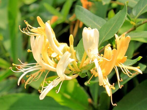 Flores amarelas da Madressilva encantam o jardim