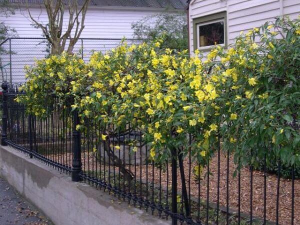 Flores amarelas de Jasmim-Carolina cultivadas em grades