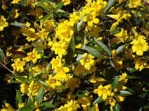 Flores amarelas de Jasmim-Carolina em plena floração