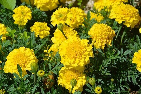 Forme um lindo canteiro com cravos amarelos