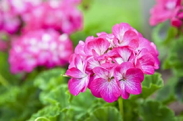 Os Gerânios são flores que gostam de muito sol