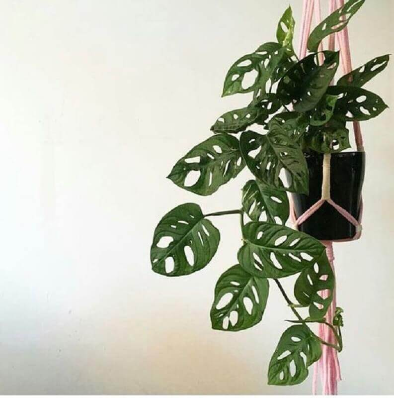MONSTERA OBLÍQUA Foto Pinterest