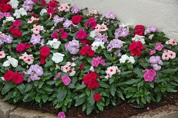 A Maria Sem Vergonha é uma das flores que gostam de sol e florescem o ano todo