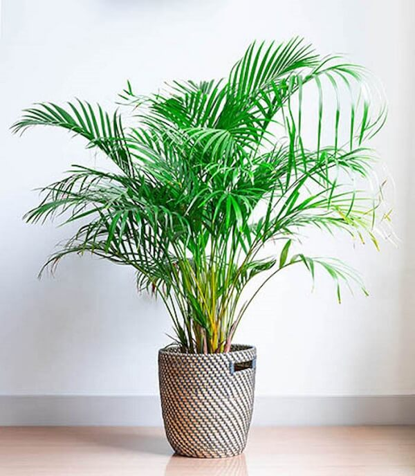 Mini coqueiro de jardim da espécie areca-bambu em vaso