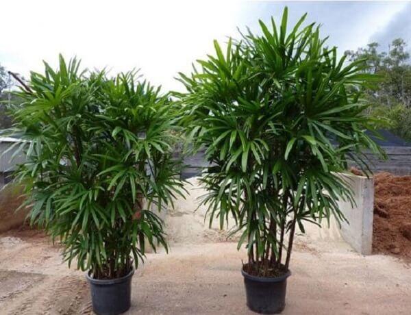 Muda de coqueiro de jardim da espécie ráfia