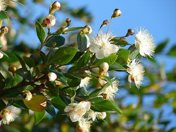 A Murta é uma das flores que gostam de muito sol