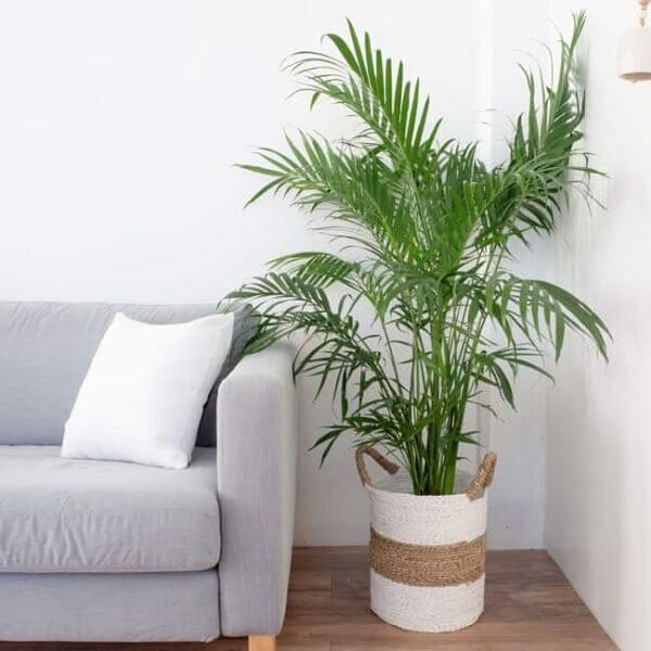 O coqueiro de jardim da espécie areca-bambu decora a sala de estar