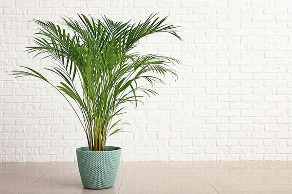O coqueiro de jardim da espécie areca bambu não é uma indicada para ambientes com ar condicionado