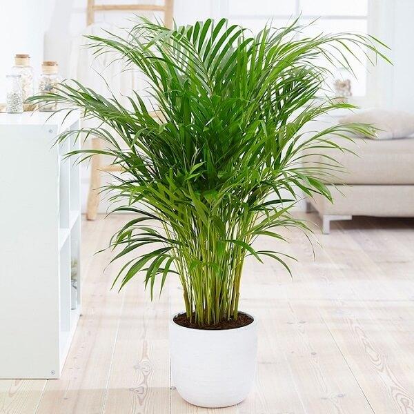 O coqueiro de jardim em vaso da espécie Areca Bambu se multiplica com facilidade