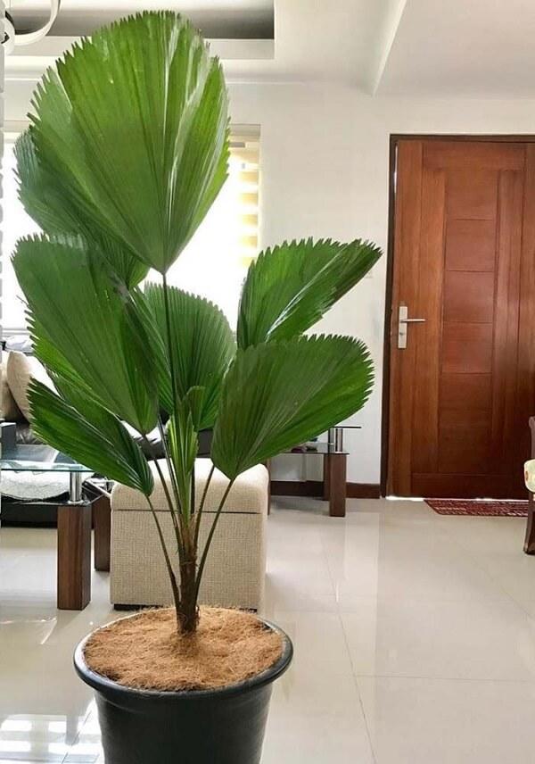 Coqueiro de jardim da espécie leque em sala de estar