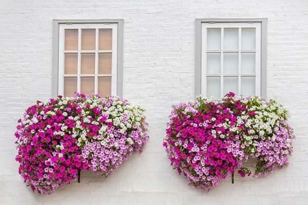 As petúnias são também flores de vaso que gostam de sol