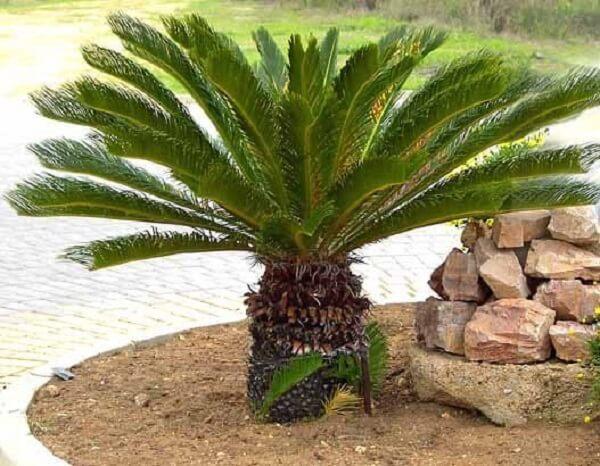 A estrutura ornamental da Cica forma lindas composições no jardim
