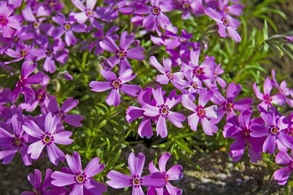 As Verbenas são plantas com flores que gostam de sol