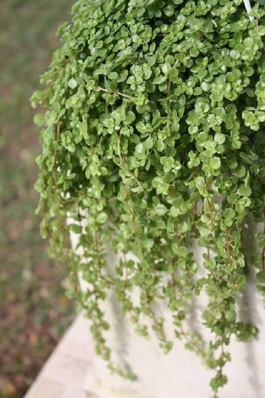 Plantas pendentes de sol Barba de Moisés - Foto: Pinterest