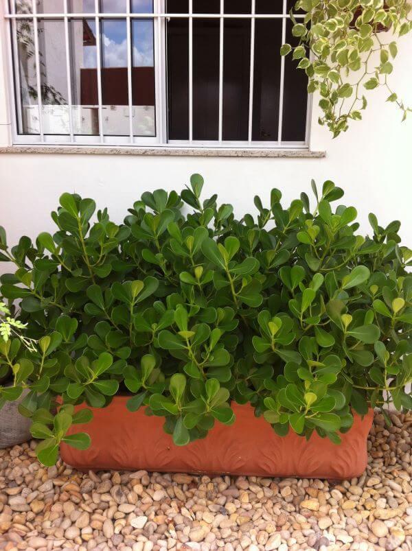 Canteiro de plantas com clusia