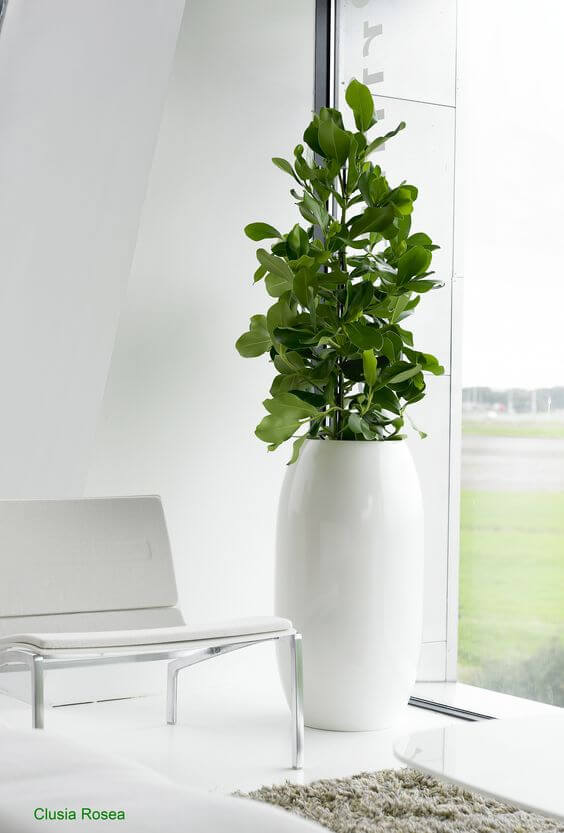 Coloque a clusia em vasos adequados para seu tamanho