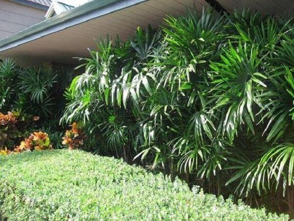 O coqueiro de jardim da espécie ráfia também é muito utilizada como um tipo de revestimento para parede
