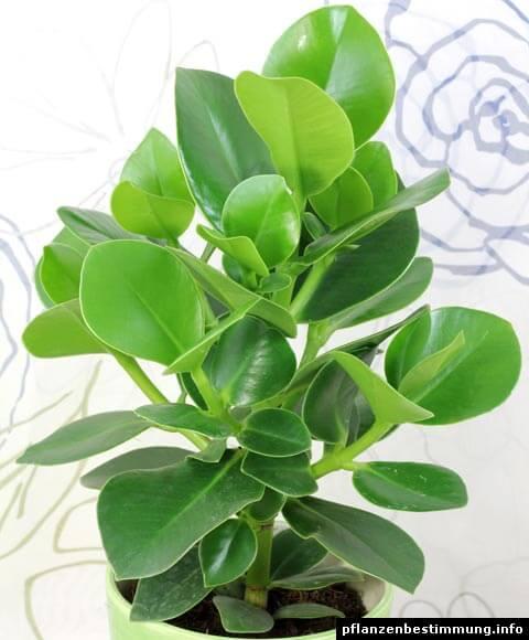 Planta clusia