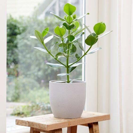 A planta clusia precisa de uma boa iluminação