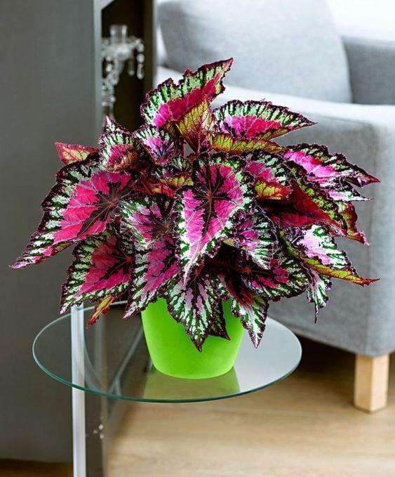 A begonia é uma das plantas pequenas mais bonitas para decorar a sala de estar
