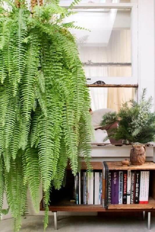 samambaia plantas pendentes Foto Pinterest